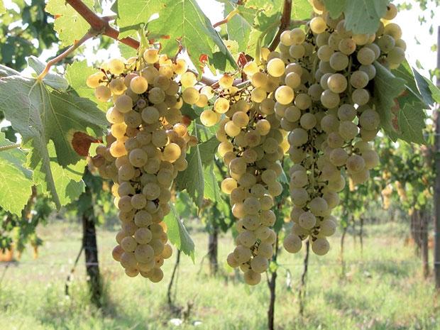Der Lugana-Wein erobert die Vereinigten Staaten