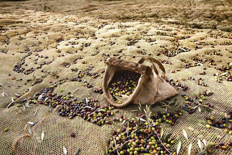 Rekordzahlen bei der Olivenernte