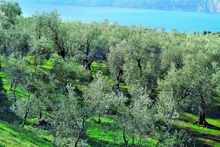 Schwieriges Jahr für die Olivenbauern