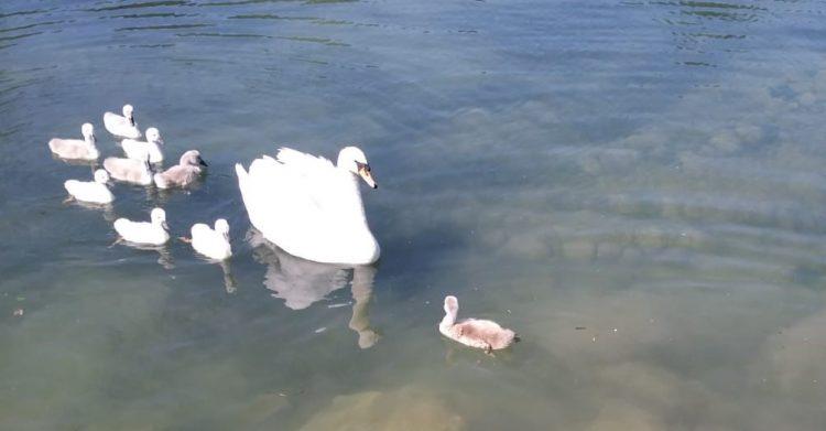 Parco del Mincio: Kleiner Schwan gepflegt und in die Familie zurückgekehrt