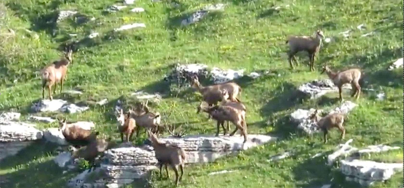Lessinia: Gruppen von Gämsen erobern das Corno d'Aquilio