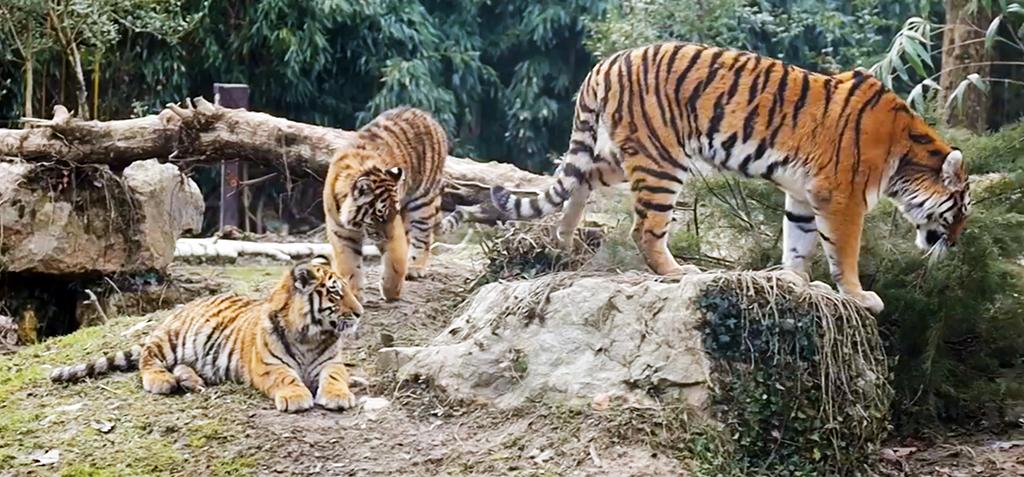 Die drei kleinen Tiger des Parco Natura Viva wachsen schnell
