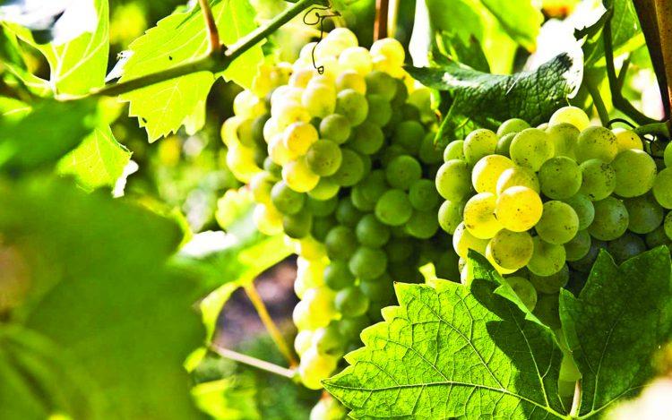 Lugana Wein wird mit 3 Klonen von Turbiana-Trauben verstärkt