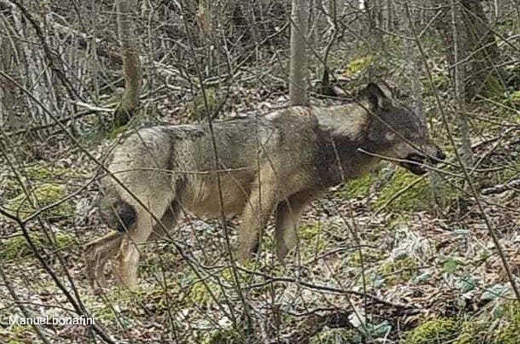 San Zeno di Montagna: von Angesicht zu Angesicht mit dem Wolf auf der Straße