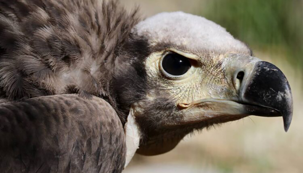 Im Parco Natura Viva der einzige indische Königsgeier in einem zoologischen Park geboren