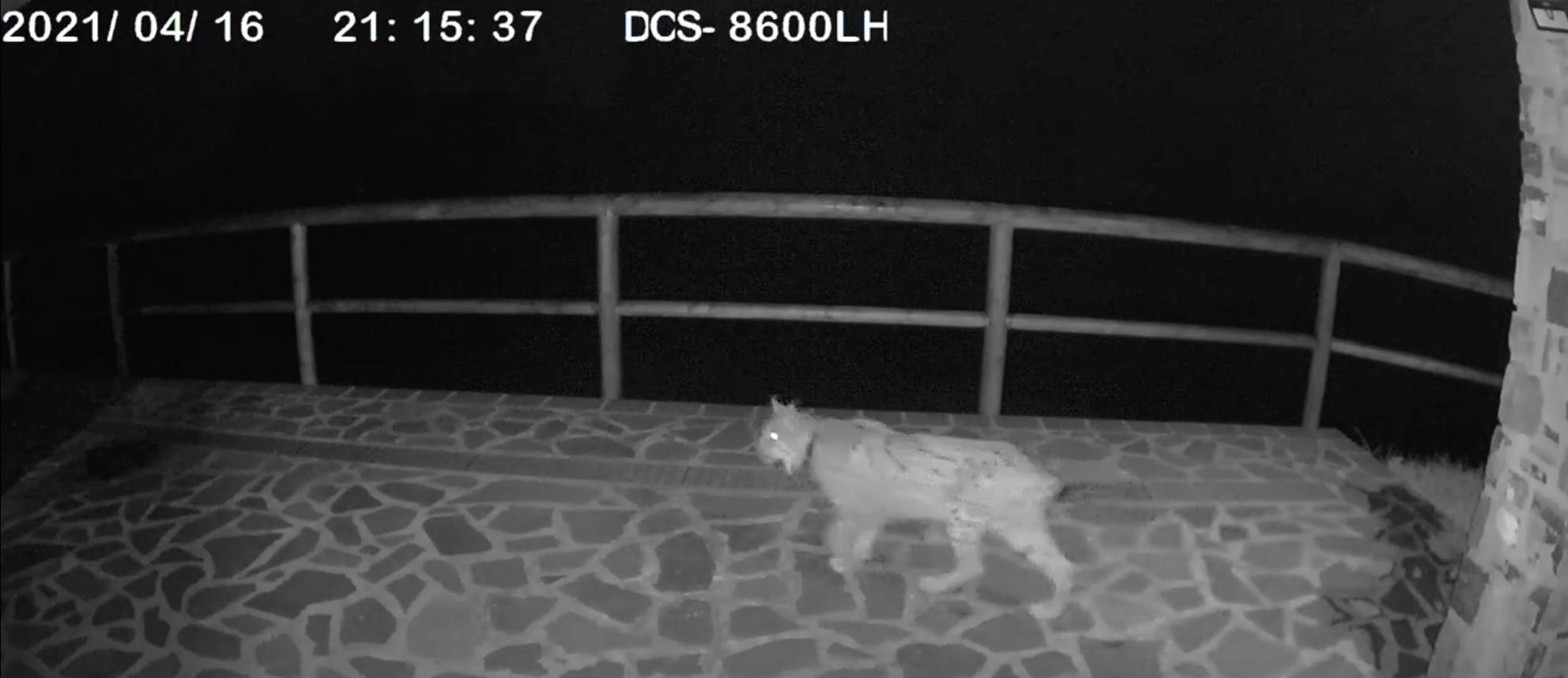 """Überraschung: Kamera """"fangt"""" einen Luchs auf der Terrasse eines Hauses ein"""