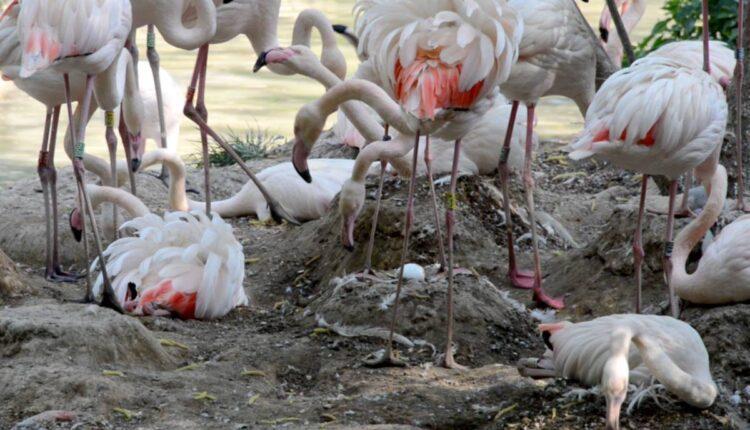 Parco Natura Viva: Die Anzahl der Eier der rosa Flamingos ist sehr gut