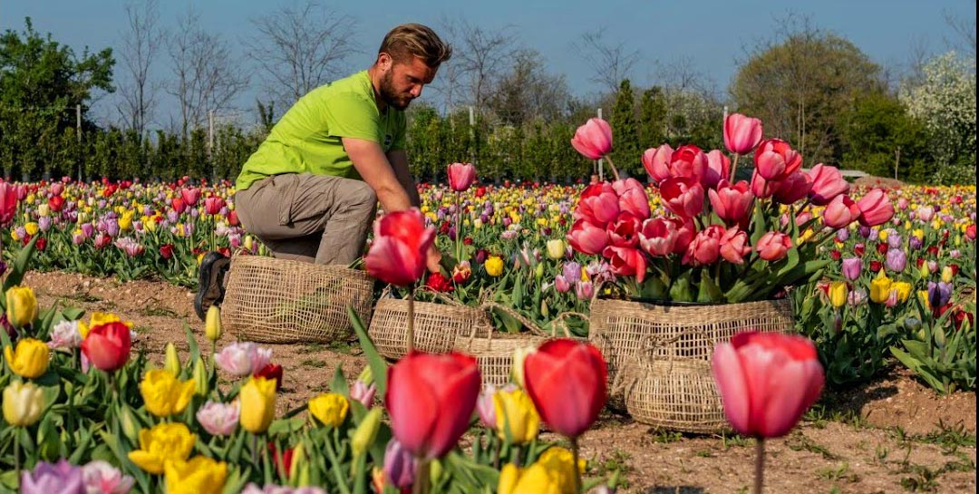 Tulpen, was für eine Leidenschaft! 100.000 blühen in Bussolengo