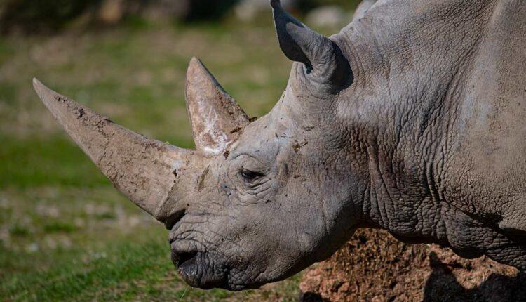 Parco Natura Viva: Tod des ältesten Nashorns der Welt