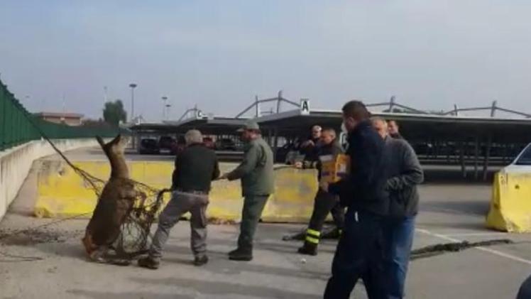 Auf dem Catullo-Parkplatz gefangene Hirschkuh in Netzen gefangen
